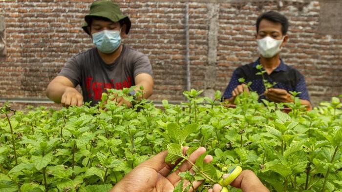 Bisnis : Budidaya Tanaman Mint di Masa Pandemi